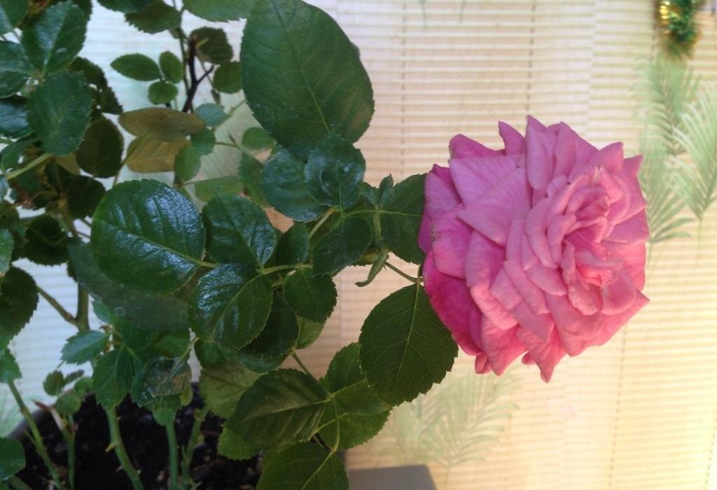 они, разновидности комнатных роз фото словами