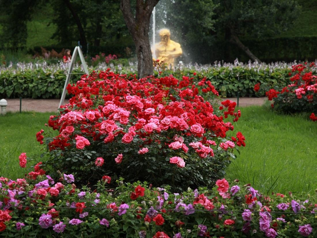 картинки роз в своем саду ахтаре нарахшад