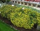 Желтая санвиталия