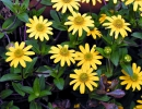 Цветущая санвиталия