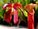 Красная саррацения