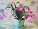 Нежные розовые цветки декабриста