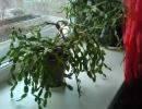 Шлюмбергера без цветения