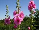 Мальва розовая