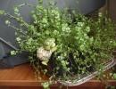 Фото растения. Солейролия в домашних условиях