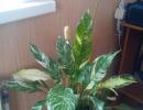 Спатифиллума комнатное растение
