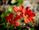 Красный спараксис