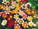 Разноцветные спараксисы