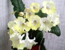 Стрептокарпус желтый