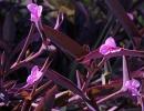 Фиолетовая традесканция
