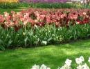 Цветы тюльпаны
