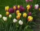Фото. Цветы тюльпаны