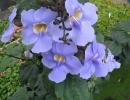 Тунбергия крупноцветковая (T. grandiflora)