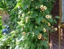 Тунбергия крылатая (T. alata)