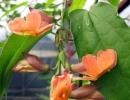 Тунбергия багряная (красная T. coccinea)