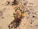 Урсиния разноцветковая