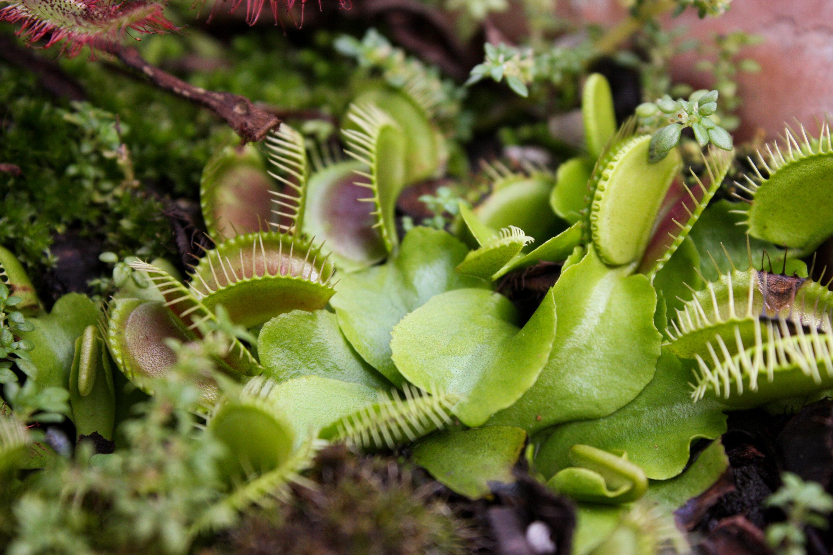 Картинки мухоловки растения