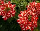 Вербена фото растения
