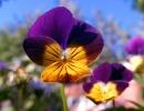 Двухцветная виола Виттрока
