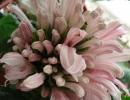 Цветок якобинии