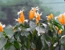 Цветущая якобиния