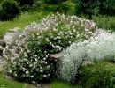 Ясколка войлочная в саду