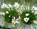 Зефирантес белоцветковый вид