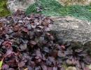 Живучка ползучая - Atropurpurea