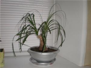 Нолина и полив растения