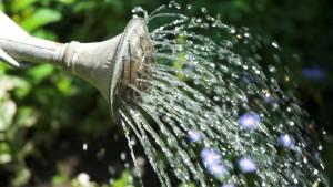 Полив растения Диффенбахия