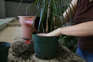 Пересадка растения драцена