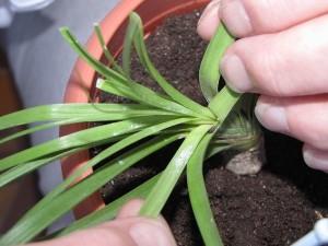 Болезни комнатного растения нолины