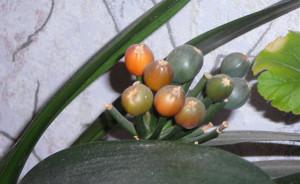 Размножение кливии семенами