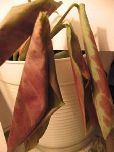 Листья сворачиваются у маранты, на них появляются пятна