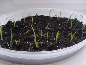 Размножение гиппеаструма семенами