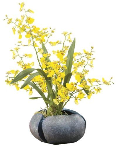 Особенность ухода в домашних условиях за орхидеей онцидиум