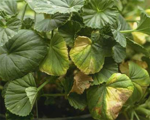 Желтеют края нижней листвы у пеларгонии