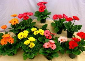 цветения цветка гербера