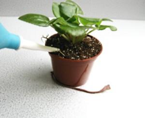 Полив домашнего растения стрептокарпус