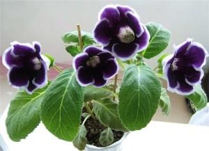 Уход в домашних условиях за цветком глоксиния