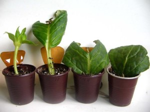 Размножение домашнего цветка глоксиния листом