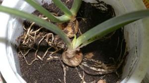 Пересадка комнатного растения эухарис
