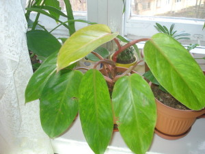 Почему у филодендрона желтеют листья?