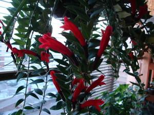 Эсхинантус каролина