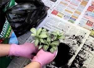 Пересадка комнатного растения фиттония