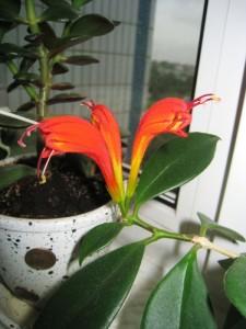 Эсхинантус является светолюбивым цветком