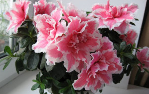 Цветение азалии