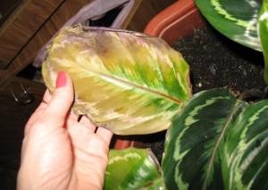 Сохнут листья у калатеи