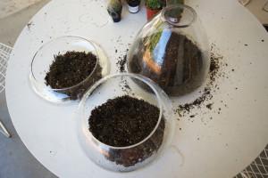 Пересадка и подкормка комнатного растения клеродендрум