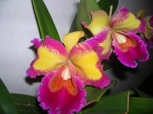 Уход за комнатным цветком каттлея в домашних условиях